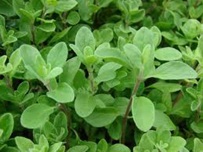 Origanum majorana /Indian Name: Marwa