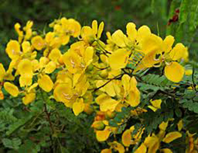 Benefits of Tenners Cassia