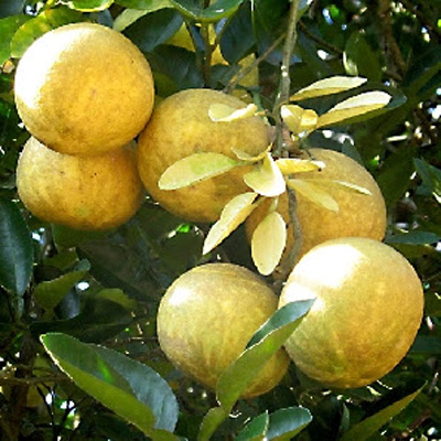 Stone apple, Bengal quince / Indian Name: Bel or Siriphal