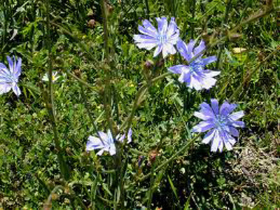 Benefits of Chicory