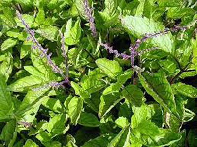 Benefits of Holy Basil