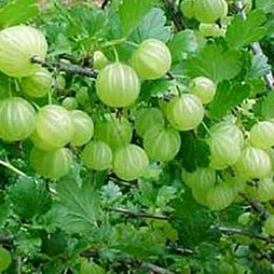 Emblica officinalis / Indian Name: Amla