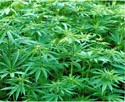 Benefits of Indian hemp