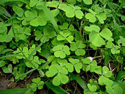 Oxalis corniculata / Indian Name: Amboti-ki-patti