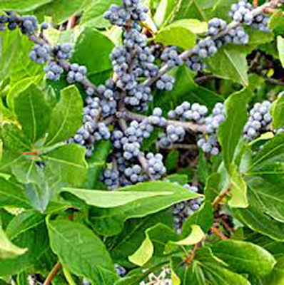 Benefits of Bay Berry