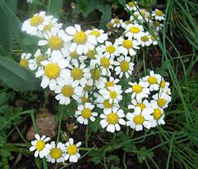 Benefits of Bitter Chamomile
