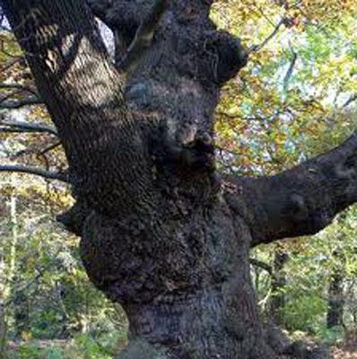 Benefits of Devils Tree