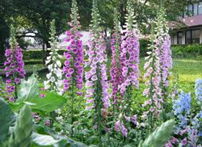 Benefits of Digitalis