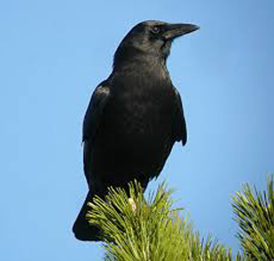Omens of a Crow
